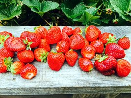 Gatehouse Garden strawberries (photo by Brenda Hinton)