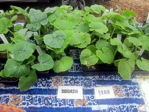 Squash plantlings at the farmers market in Mendocino (photo by Sienna M Potts)